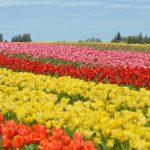 festival de tulipas vancouver